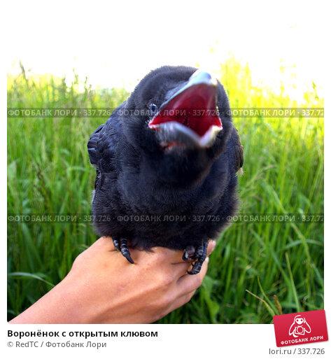 Купить «Воронёнок с открытым клювом», фото № 337726, снято 26 июня 2008 г. (c) RedTC / Фотобанк Лори