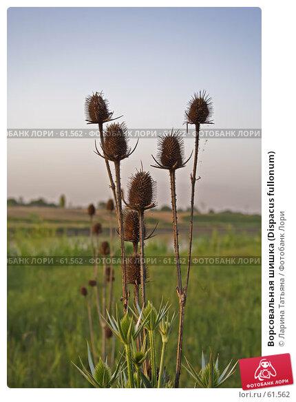 Ворсовальная шишка (Dispacus fullonum), фото № 61562, снято 28 июня 2007 г. (c) Ларина Татьяна / Фотобанк Лори