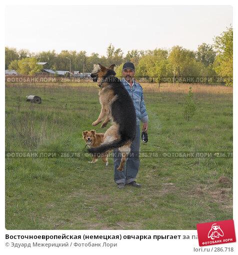 Восточноевропейская (немецкая) овчарка прыгает за палкой, фото № 286718, снято 12 мая 2008 г. (c) Эдуард Межерицкий / Фотобанк Лори