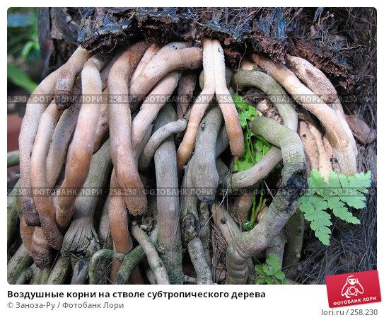 Воздушные корни на стволе субтропического дерева, фото № 258230, снято 12 апреля 2008 г. (c) Заноза-Ру / Фотобанк Лори