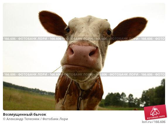 Возмущенный бычок, фото № 166606, снято 23 июня 2007 г. (c) Александр Телеснюк / Фотобанк Лори