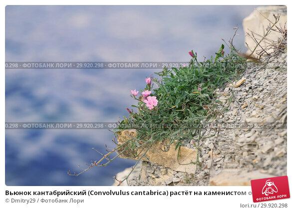 Купить «Вьюнок кантабрийский (Convolvulus cantabrica) растёт на каменистом обрыве», фото № 29920298, снято 28 сентября 2018 г. (c) Dmitry29 / Фотобанк Лори