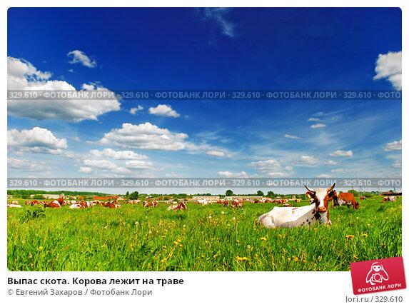 Выпас скота. Корова лежит на траве, фото № 329610, снято 28 мая 2008 г. (c) Евгений Захаров / Фотобанк Лори