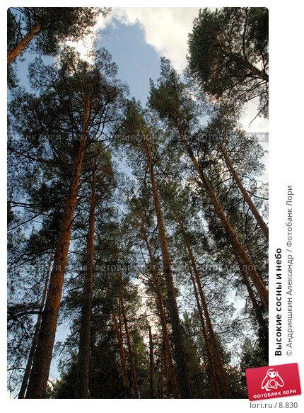 Купить «Высокие сосны и небо», фото № 8830, снято 8 сентября 2006 г. (c) Андрияшкин Александр / Фотобанк Лори