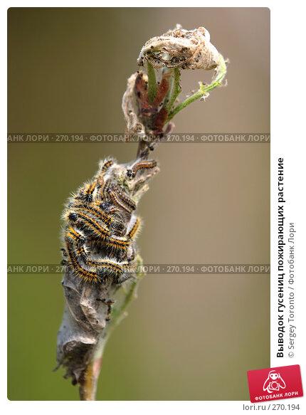Выводок гусениц пожирающих растение, фото № 270194, снято 2 мая 2008 г. (c) Sergey Toronto / Фотобанк Лори