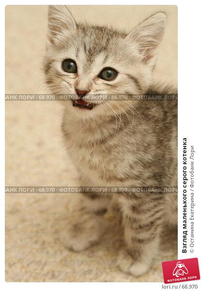 Взгляд маленького серого котенка, фото № 68970, снято 23 июля 2007 г. (c) Останина Екатерина / Фотобанк Лори