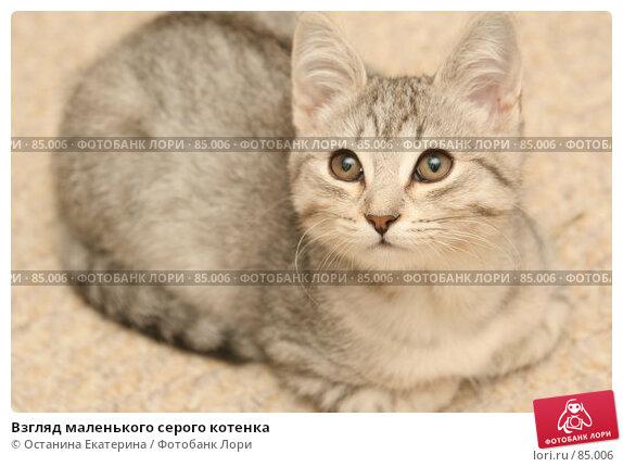 Взгляд маленького серого котенка, фото № 85006, снято 9 сентября 2007 г. (c) Останина Екатерина / Фотобанк Лори