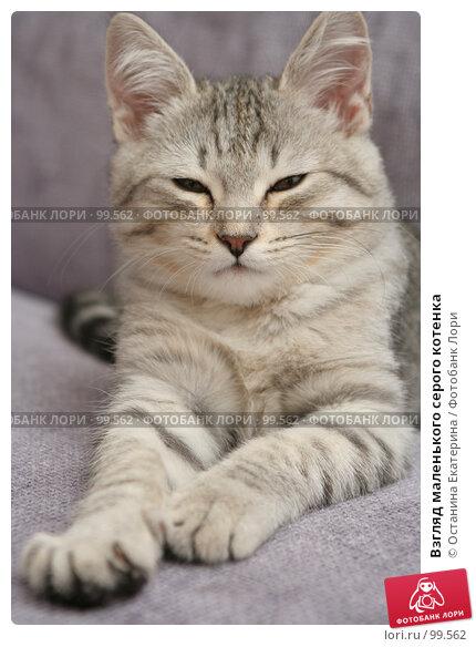Взгляд маленького серого котенка, фото № 99562, снято 17 сентября 2007 г. (c) Останина Екатерина / Фотобанк Лори