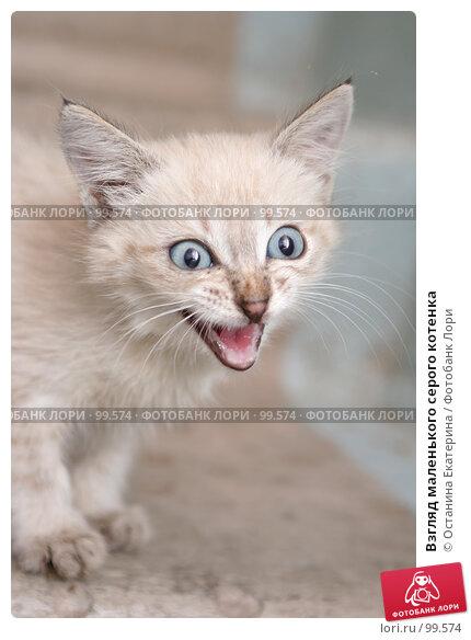 Взгляд маленького серого котенка, фото № 99574, снято 13 сентября 2007 г. (c) Останина Екатерина / Фотобанк Лори