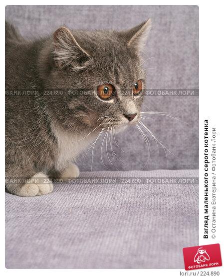 Взгляд маленького серого котенка, фото № 224890, снято 22 февраля 2008 г. (c) Останина Екатерина / Фотобанк Лори