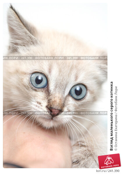 Купить «Взгляд маленького серого котенка», фото № 241390, снято 13 сентября 2007 г. (c) Останина Екатерина / Фотобанк Лори
