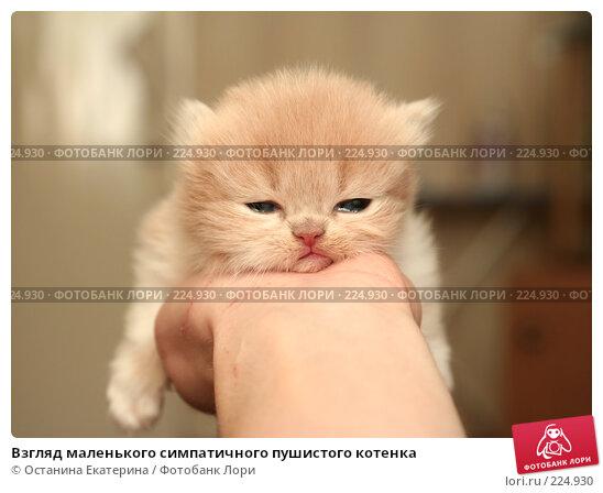Взгляд маленького симпатичного пушистого котенка, фото № 224930, снято 4 марта 2008 г. (c) Останина Екатерина / Фотобанк Лори