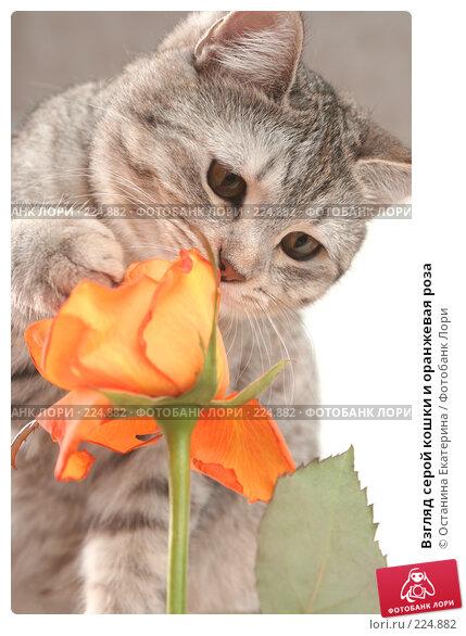 Взгляд серой кошки и оранжевая роза, фото № 224882, снято 28 января 2008 г. (c) Останина Екатерина / Фотобанк Лори