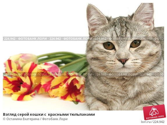 Взгляд серой кошки с  красными тюльпанами, фото № 224942, снято 7 марта 2008 г. (c) Останина Екатерина / Фотобанк Лори