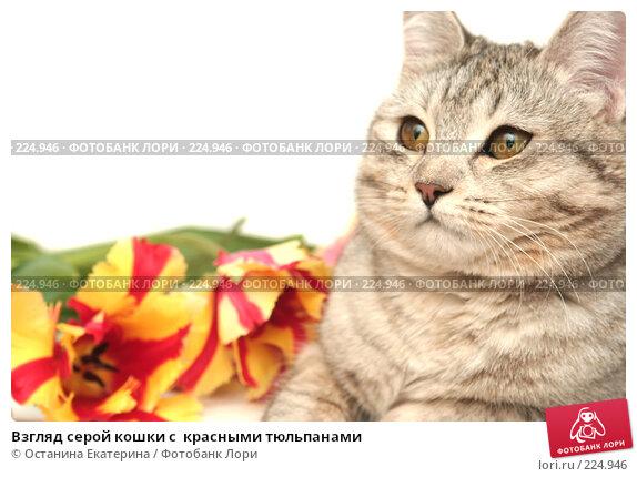 Взгляд серой кошки с  красными тюльпанами, фото № 224946, снято 7 марта 2008 г. (c) Останина Екатерина / Фотобанк Лори