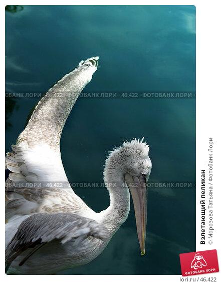 Взлетающий пеликан, фото № 46422, снято 9 июля 2005 г. (c) Морозова Татьяна / Фотобанк Лори