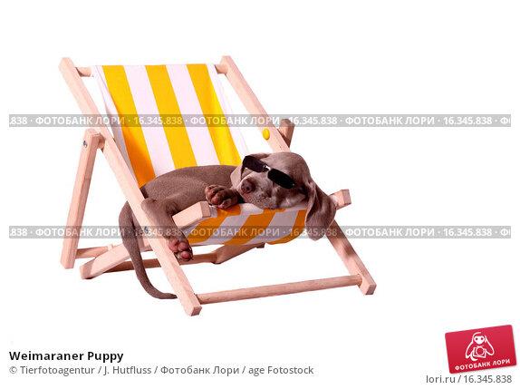 Купить «Weimaraner Puppy», фото № 16345838, снято 19 мая 2009 г. (c) age Fotostock / Фотобанк Лори