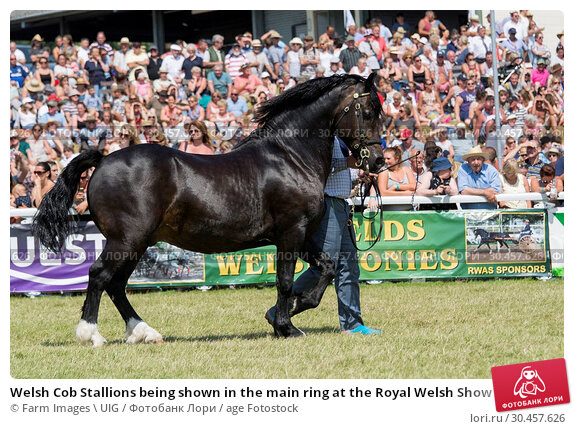 Welsh Cob Stallions being shown in the main ring at the Royal Welsh Show 2016. Стоковое фото, фотограф Farm Images \ UIG / age Fotostock / Фотобанк Лори