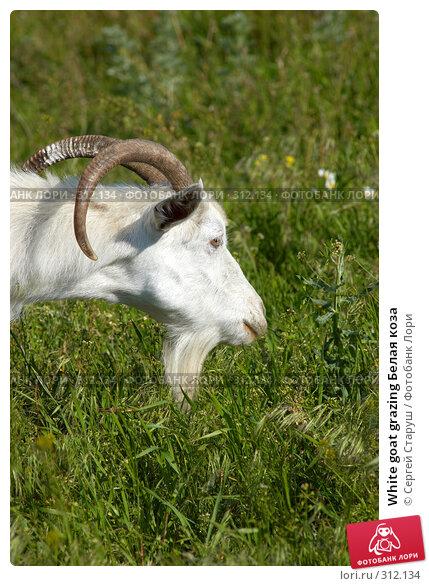 White goat grazing Белая коза, фото № 312134, снято 4 июня 2008 г. (c) Сергей Старуш / Фотобанк Лори