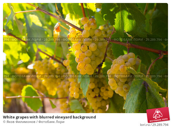 Купить «White grapes with blurred vineyard background», фото № 29289794, снято 21 марта 2019 г. (c) Яков Филимонов / Фотобанк Лори
