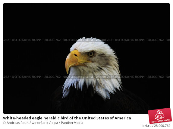Купить «White-headed eagle heraldic bird of the United States of America», фото № 28000762, снято 28 января 2020 г. (c) PantherMedia / Фотобанк Лори