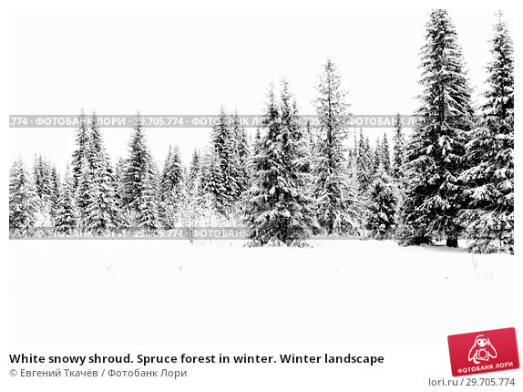 Купить «White snowy shroud. Spruce forest in winter. Winter landscape», фото № 29705774, снято 5 января 2018 г. (c) Евгений Ткачёв / Фотобанк Лори
