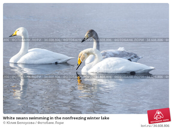 White swans swimming in the nonfreezing winter lake. Стоковое фото, фотограф Юлия Белоусова / Фотобанк Лори