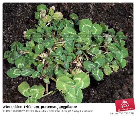 Wiesenklee, Trifolium, pratense, jungpflanze. Стоковое фото, фотограф Zoonar.com/Manfred Ruckszio / easy Fotostock / Фотобанк Лори