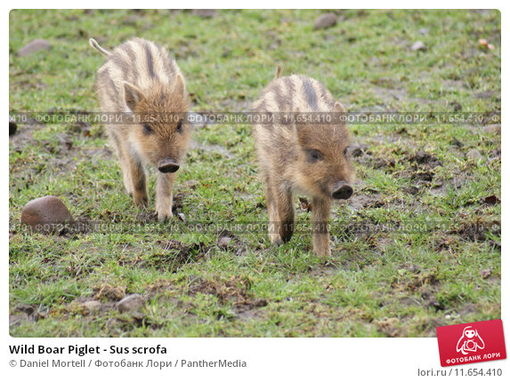 Купить «Wild Boar Piglet - Sus scrofa», фото № 11654410, снято 20 апреля 2019 г. (c) PantherMedia / Фотобанк Лори