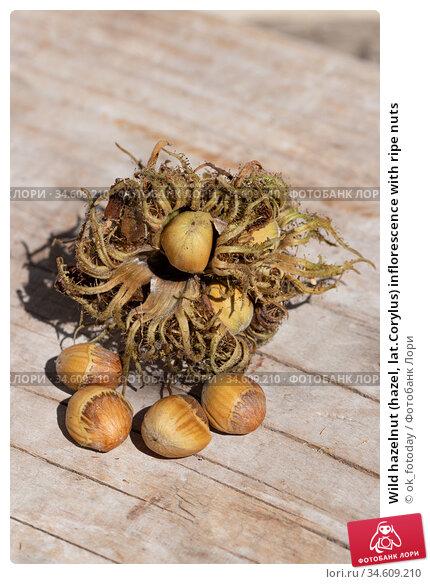 Wild hazelnut (hazel, lat.Corylus) inflorescence with ripe nuts. Стоковое фото, фотограф ok_fotoday / Фотобанк Лори
