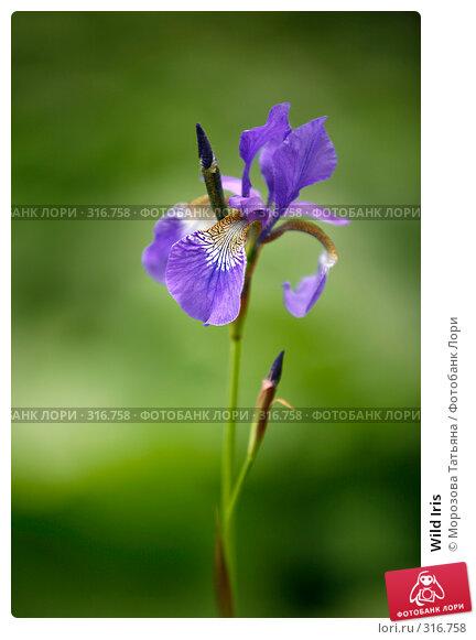 Wild Iris, фото № 316758, снято 6 июня 2008 г. (c) Морозова Татьяна / Фотобанк Лори