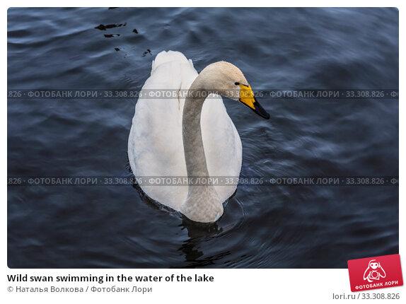 Купить «Wild swan swimming in the water of the lake», фото № 33308826, снято 25 января 2020 г. (c) Наталья Волкова / Фотобанк Лори