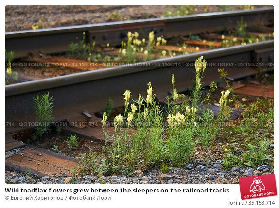 Wild toadflax flowers grew between the sleepers on the railroad tracks. Стоковое фото, фотограф Евгений Харитонов / Фотобанк Лори
