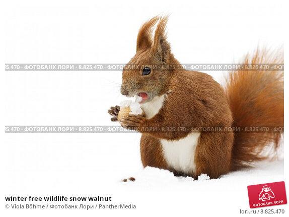 Купить «winter free wildlife snow walnut», фото № 8825470, снято 22 апреля 2019 г. (c) PantherMedia / Фотобанк Лори