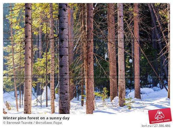 Купить «Winter pine forest on a sunny day», фото № 27386486, снято 13 февраля 2016 г. (c) Евгений Ткачёв / Фотобанк Лори