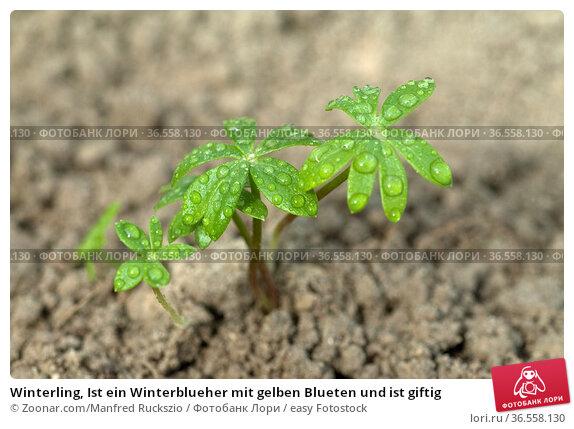 Winterling, Ist ein Winterblueher mit gelben Blueten und ist giftig. Стоковое фото, фотограф Zoonar.com/Manfred Ruckszio / easy Fotostock / Фотобанк Лори