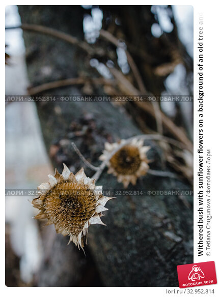 Withered bush with sunflower flowers on a background of an old tree and a house. Autumn gloomy mood. Abstract photo. Selective focus. Close-up. Стоковое фото, фотограф Tetiana Chugunova / Фотобанк Лори