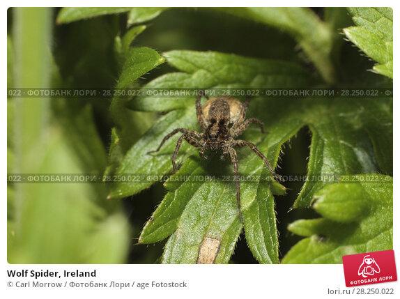 Купить «Wolf Spider, Ireland», фото № 28250022, снято 28 мая 2017 г. (c) age Fotostock / Фотобанк Лори