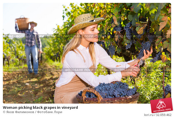 Woman picking black grapes in vineyard. Стоковое фото, фотограф Яков Филимонов / Фотобанк Лори