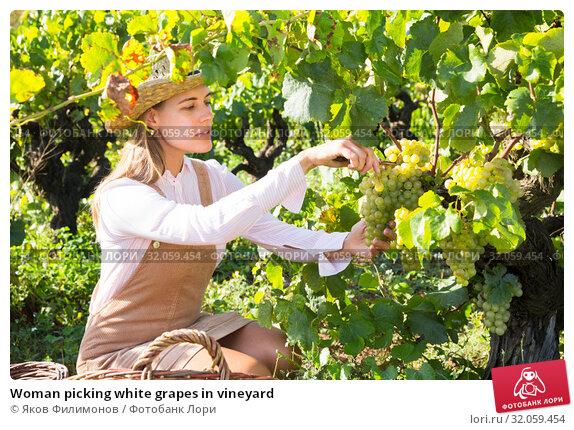 Woman picking white grapes in vineyard. Стоковое фото, фотограф Яков Филимонов / Фотобанк Лори