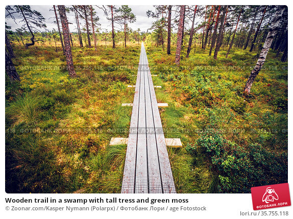 Wooden trail in a swamp with tall tress and green moss. Стоковое фото, фотограф Zoonar.com/Kasper Nymann (Polarpx) / age Fotostock / Фотобанк Лори