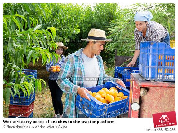 Workers carry boxes of peaches to the tractor platform. Стоковое фото, фотограф Яков Филимонов / Фотобанк Лори