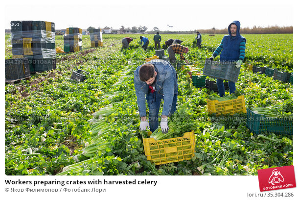 Workers preparing crates with harvested celery. Стоковое фото, фотограф Яков Филимонов / Фотобанк Лори