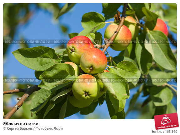 Купить «Яблоки на ветке», фото № 165190, снято 14 августа 2007 г. (c) Сергей Байков / Фотобанк Лори