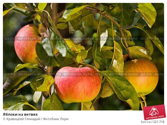 Яблоки на ветвях, фото № 321718, снято 5 сентября 2004 г. (c) Кравецкий Геннадий / Фотобанк Лори