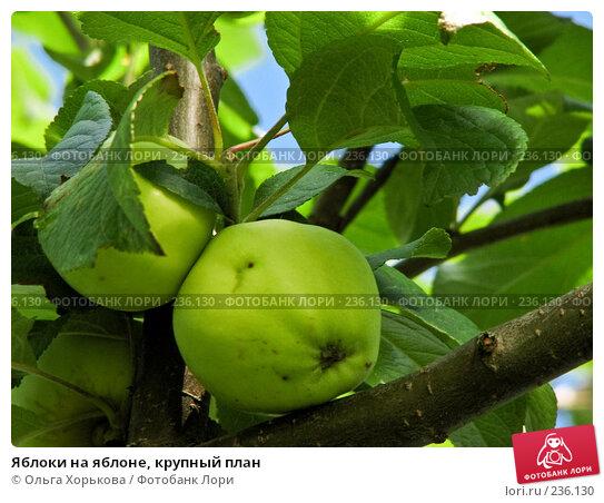 Купить «Яблоки на яблоне, крупный план», фото № 236130, снято 29 июля 2007 г. (c) Ольга Хорькова / Фотобанк Лори