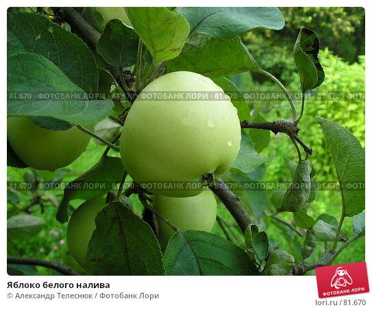 Купить «Яблоко белого налива», фото № 81670, снято 1 августа 2004 г. (c) Александр Телеснюк / Фотобанк Лори