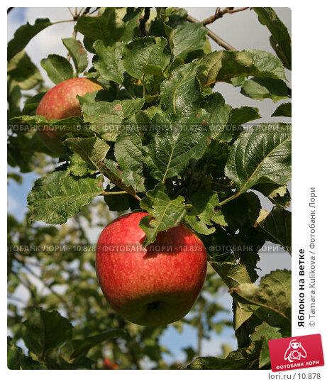 Яблоко на ветке, фото № 10878, снято 8 октября 2006 г. (c) Tamara Kulikova / Фотобанк Лори