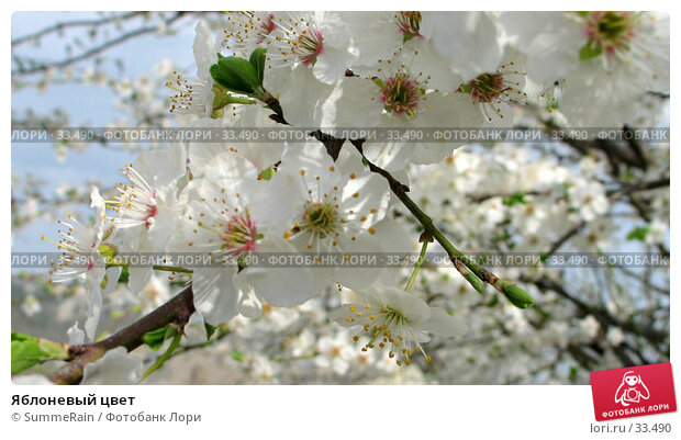 Яблоневый цвет, фото № 33490, снято 23 мая 2017 г. (c) SummeRain / Фотобанк Лори