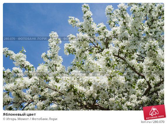 Яблоневый цвет, фото № 280070, снято 11 мая 2008 г. (c) Игорь Момот / Фотобанк Лори